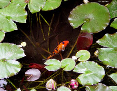 Koi pond with fish and lily pads.